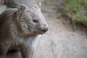 An Australian Marsupial Wombat