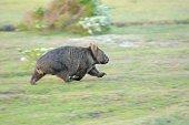a Wombat runs through a field in North eastern Tasmania, Australia