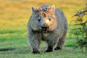 a Wombat forages for food at sunset in North Eastern Tasmania, Australia