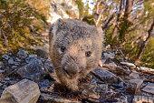 Wombat on the Dove Lake Circuit, Cradle Mountain