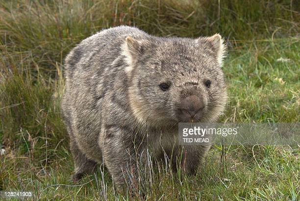 Wombat, vombatus ursinus, Tasmania, Australia