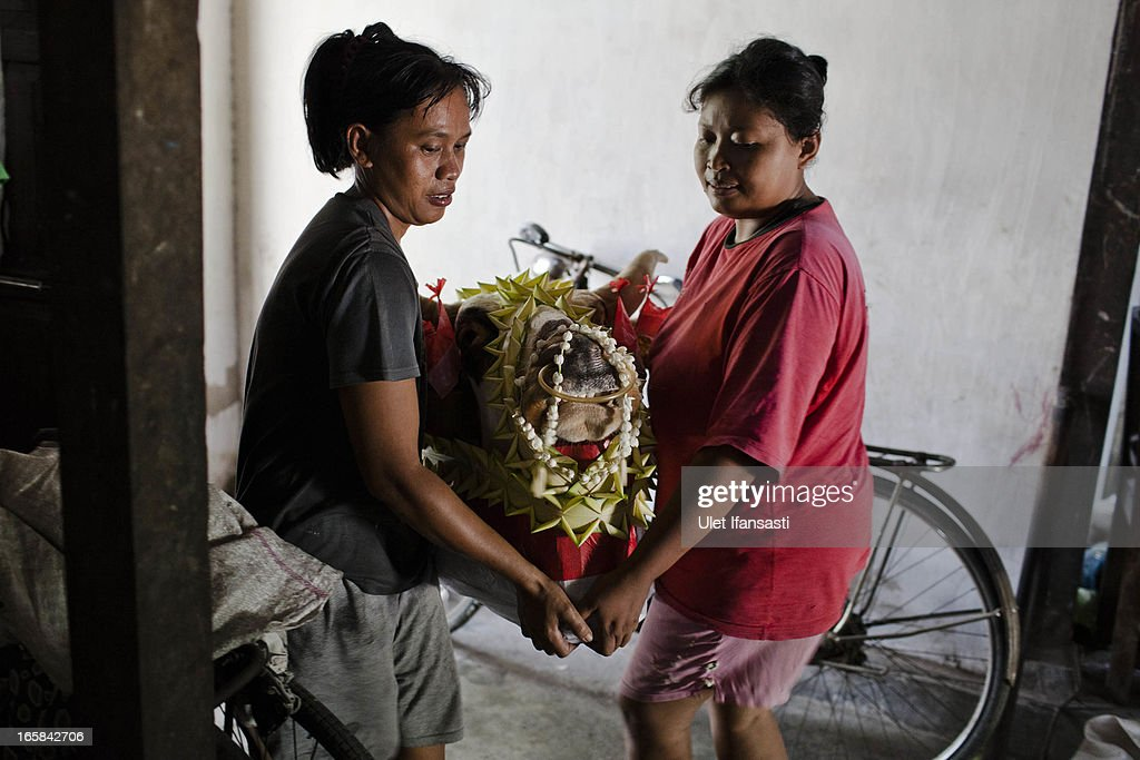 Women carry a cow's head as it is prepared as an offering during the Cembengan ritual 'Manten Tebu' on April 6, 2013 in Yogyakarta, Indonesia. The Cembengan ritual, performed to bring about a good season's sugarcane crop, is held annually before the milling and processing season starts in Indonesian sugar mills.