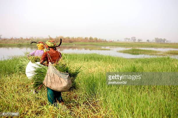 Women Carrying Grass For Domestic Cattle
