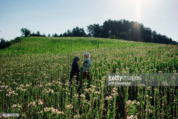 Women collect tobacco leaves near the village of Kukuryak southeast of the Bulgarian capital Sofia on July 12 2017 Bulgaria was one of the largest...