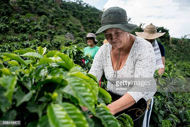 Women collecting coffee beams at a farm