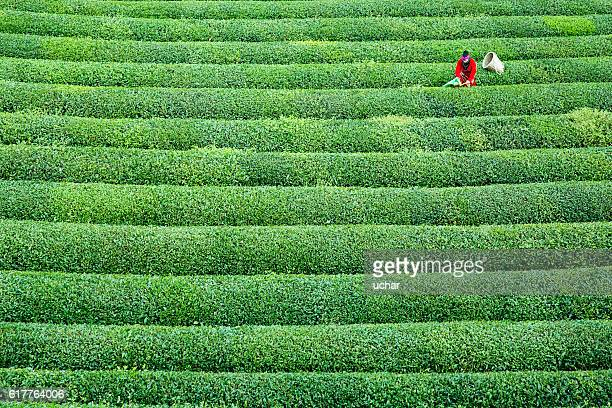 women collecting green tea