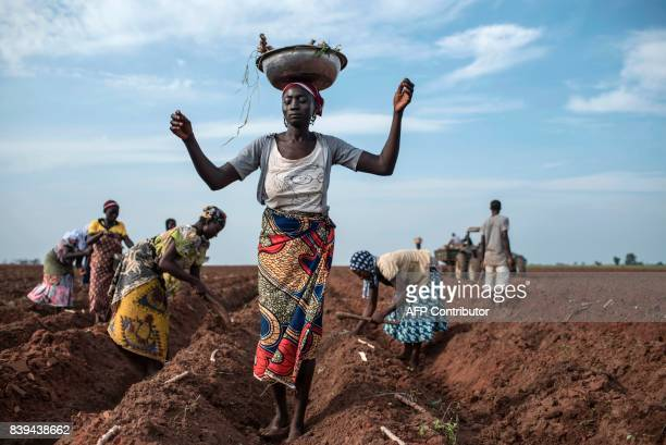 A women distributes cassava cuttings whilst others plant them on a recently prepared land on July 12 2017 Farming in Nigeria is not for the...