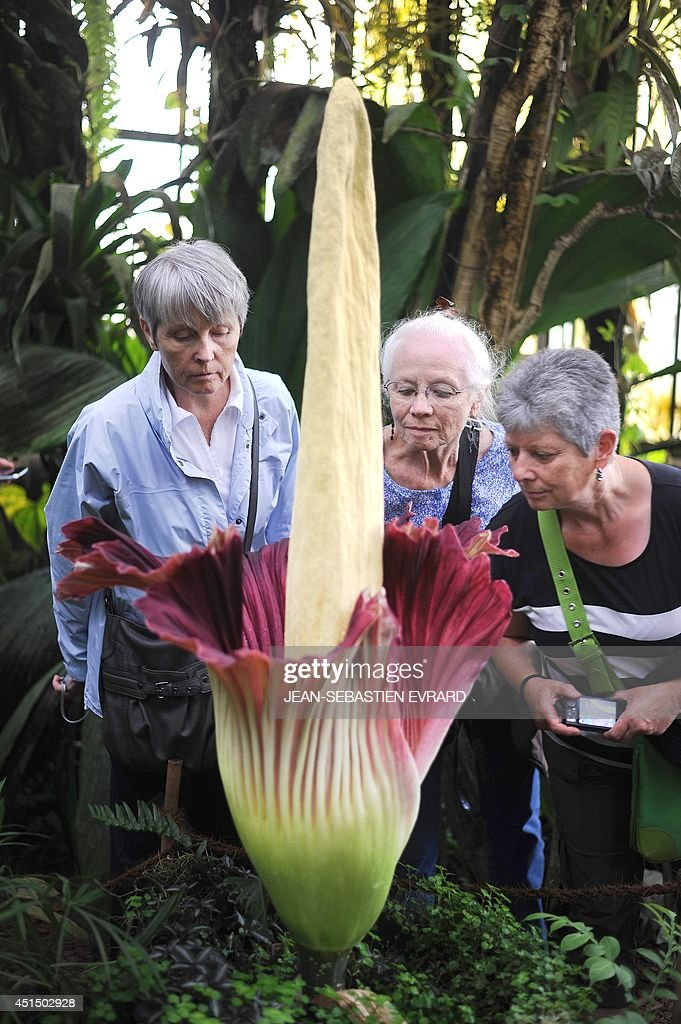 Women examine a blooming titan arum plant at the Jardin des plantes botanical garden in Nantes, western France, on June 30, 2014. The titan arum (Amorphophallus titanum), also known as the corpse flower or stinky plant due to its odor, may remain in bloom for up to 24 to 48 hours before it begins to wilt.