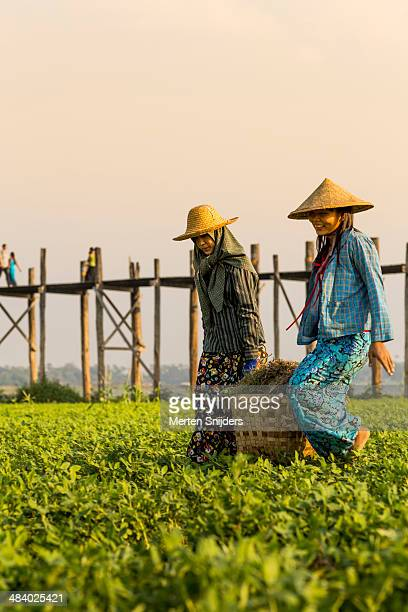 Women farming ground nuts at U Bein bridge