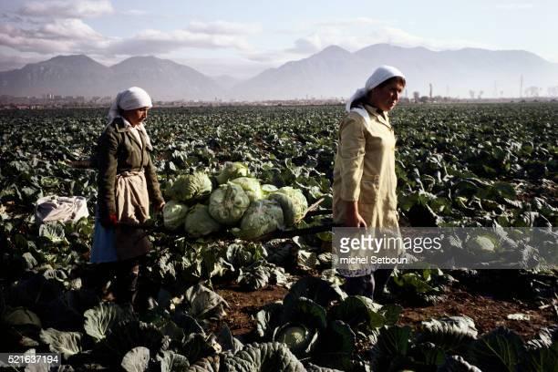 Women Harvesting Cabbage in Tirane