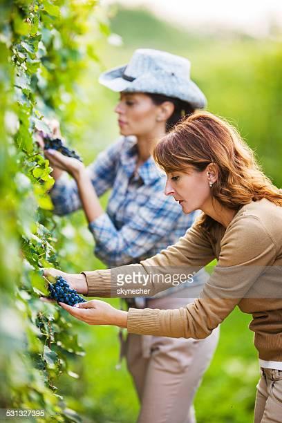 Women in vineyard.