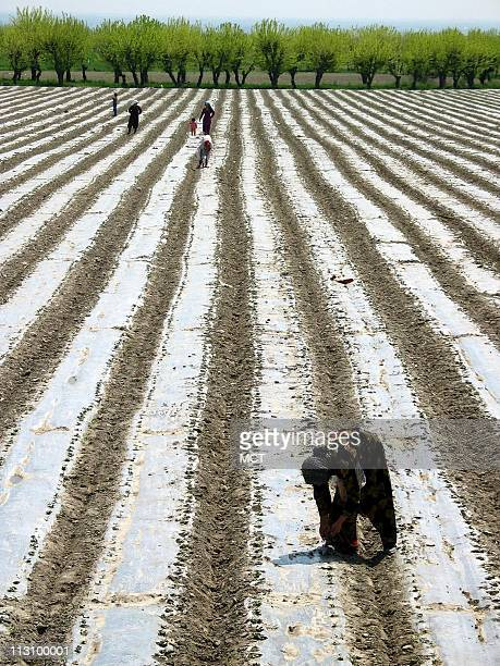 Women pick rocks from a freshlyplanted cotton field in the Fergana Valley in Namanga Uzbekistan on April 17 2004 Uzbek women who attempt suicide by...