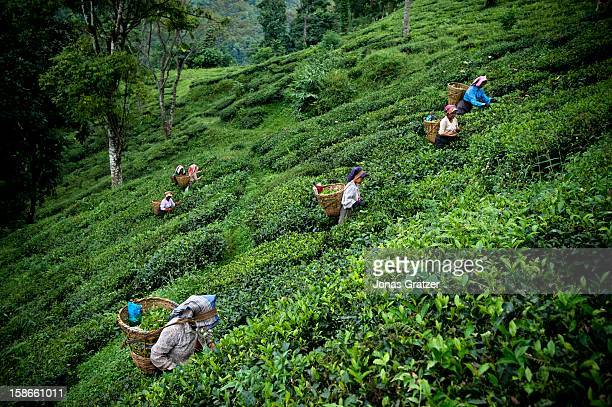 Women picking tea along mountain slopes of Darjeeling The mountains around Darjeeling are naturally gifted with the perfect soil and climate for...