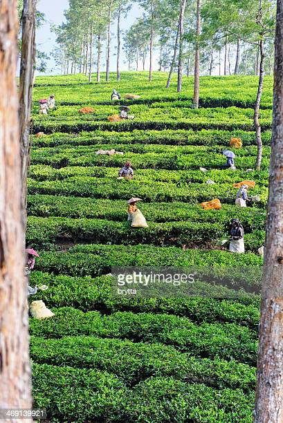Women picking tea leaves in Kerala