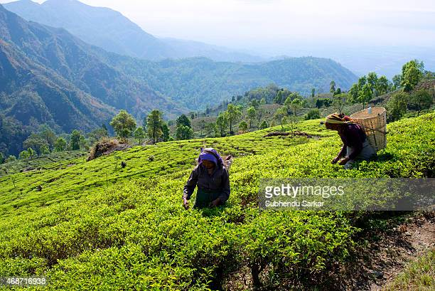 Women pluck tea leaves at Makaibari tea garden Set up in 1859 off Kurseong in the Darjeeling hills the Makaibari estate is the worlds first tea...
