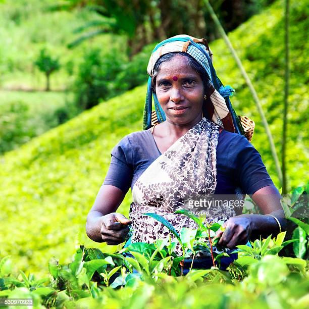 Frauen plucking Teeblätter