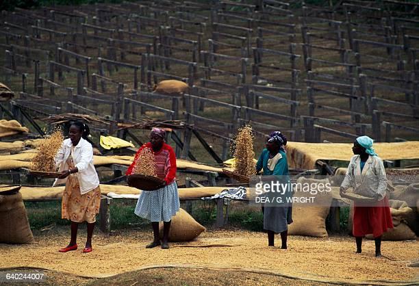 Women sifting dried coffee drupes Mogambo near Meru Kenya