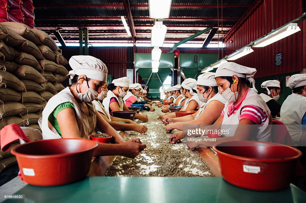 Women sort green coffee beans on a conveyor belt at a processing plant : Stock Photo