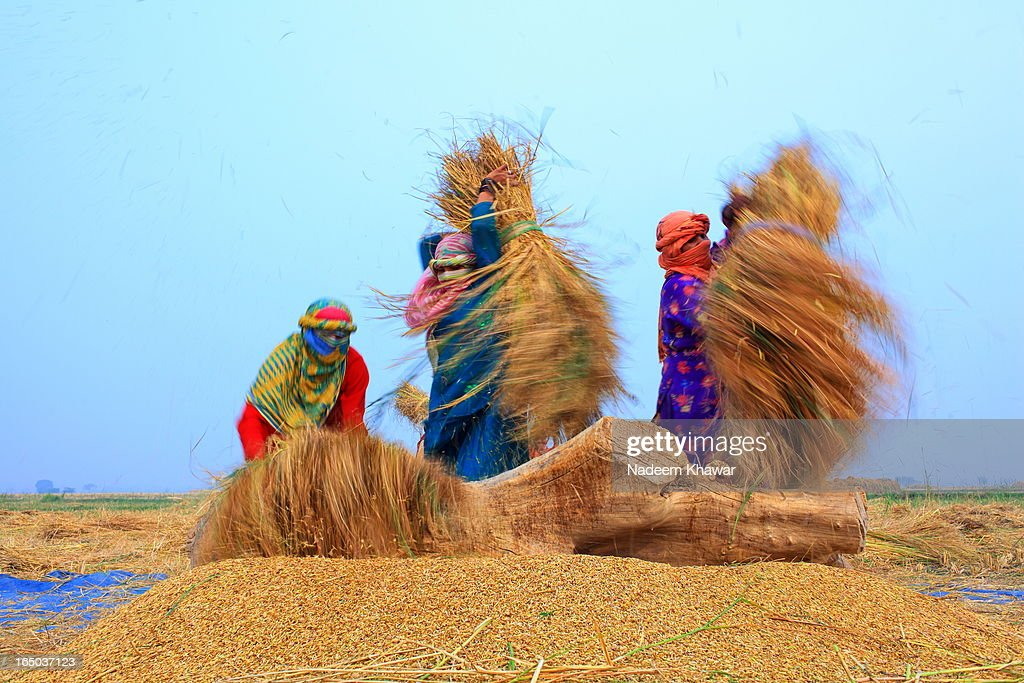 CONTENT] women Threshing paddy at fields, Punjab Pakistan.Punjabi women works with family and earn money to share their families expenses.