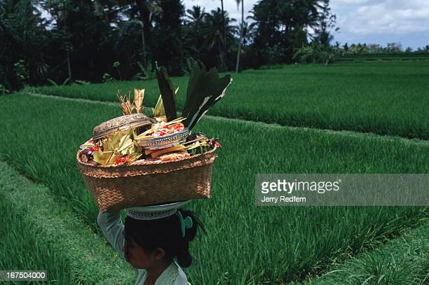 A women totes an offering basket of food flowers and drink down through rice paddies heading to a Hindu ceremony Brightlydressed women with...