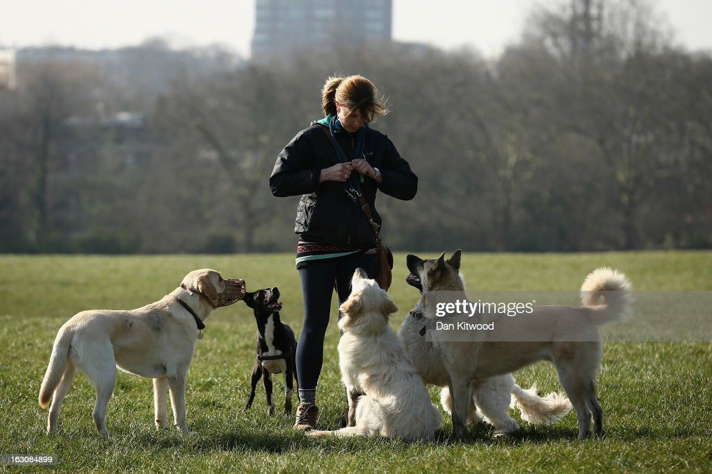 A women walks dogs in the sunshine on Primrose Hill on March 4, 2013 in London, England. The Met office has predicted the warmest day of the year tomorrow with a top temperature of 15 degrees in some parts of the country.