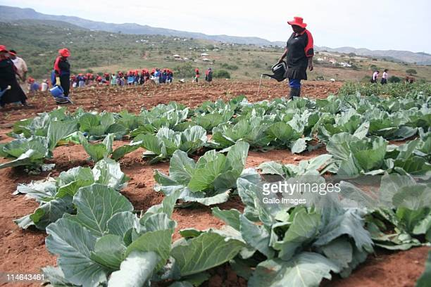 Women who are part of the Qedisimo Sendlala project water vegetables on May 24 2011 in Nkandla KwaZuluNatal South Africa The selfhelp community...