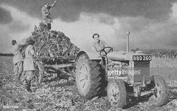 Women's Land Army lifting a crop World War II 1940 The Women's Land Army was established to meet the demand for agricultural labour caused by the...