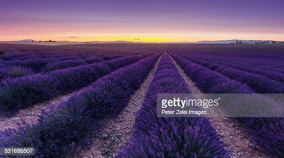 Wondeful lavender fields