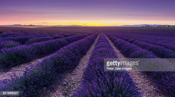 Wondeful lavender fields
