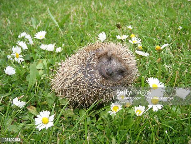 Wonderful 'Siesta' of a Little Hedgehog  / La