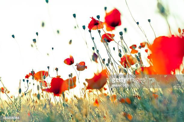 Wonderful weightless red corn poppies