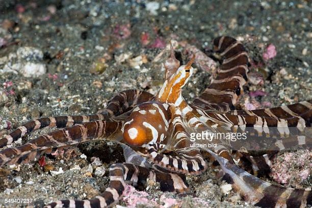 Wonderpus Octopus Wunderpus photogenicus Lembeh Strait North Sulawesi Indonesia