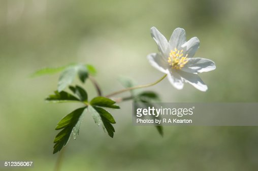 Wood Anemone, Anemone Sylvestris
