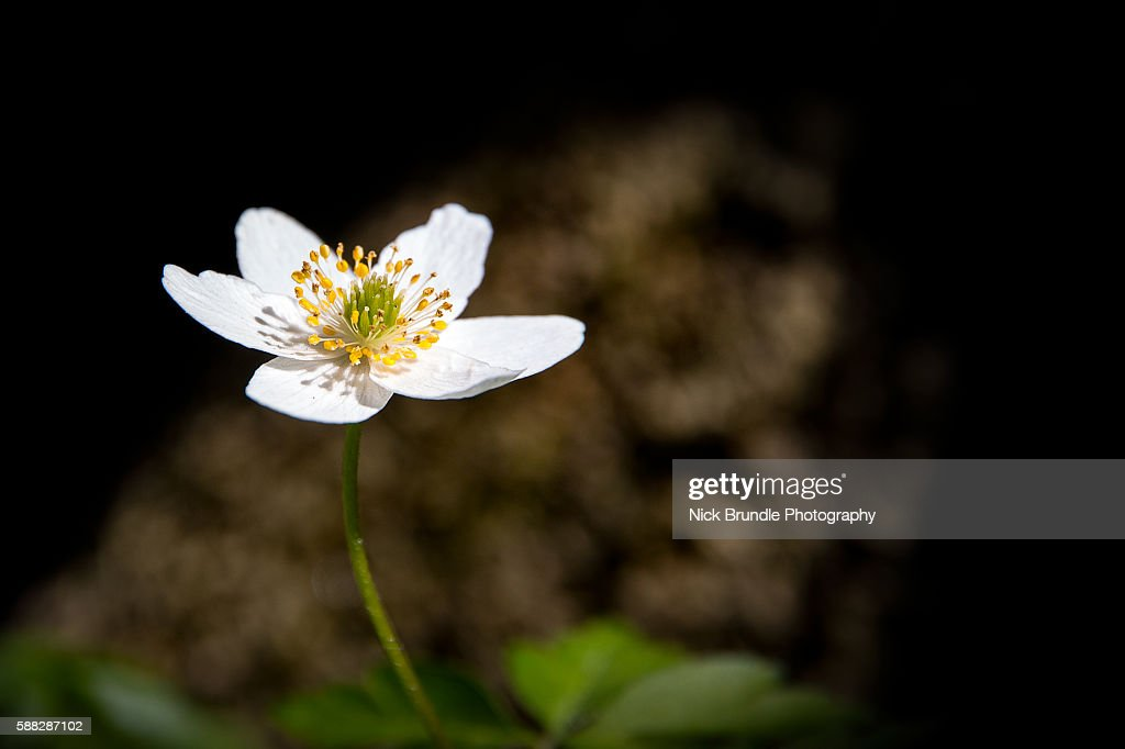 Wood Anemone (Anemone nemorosa).