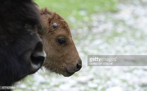 A wood bison calf stands next to its mother at their outdoor enclosure at the Hellabrunn zoo in Munich southern Germany on June 17 2015 The American...