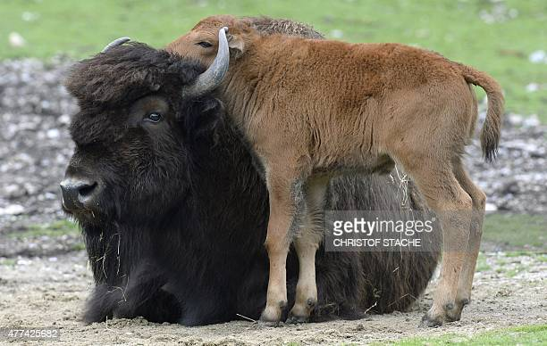 VERSION A wood bison calf stands next to its mother at their outdoor enclosure at the Hellabrunn zoo in Munich southern Germany on June 17 2015 The...