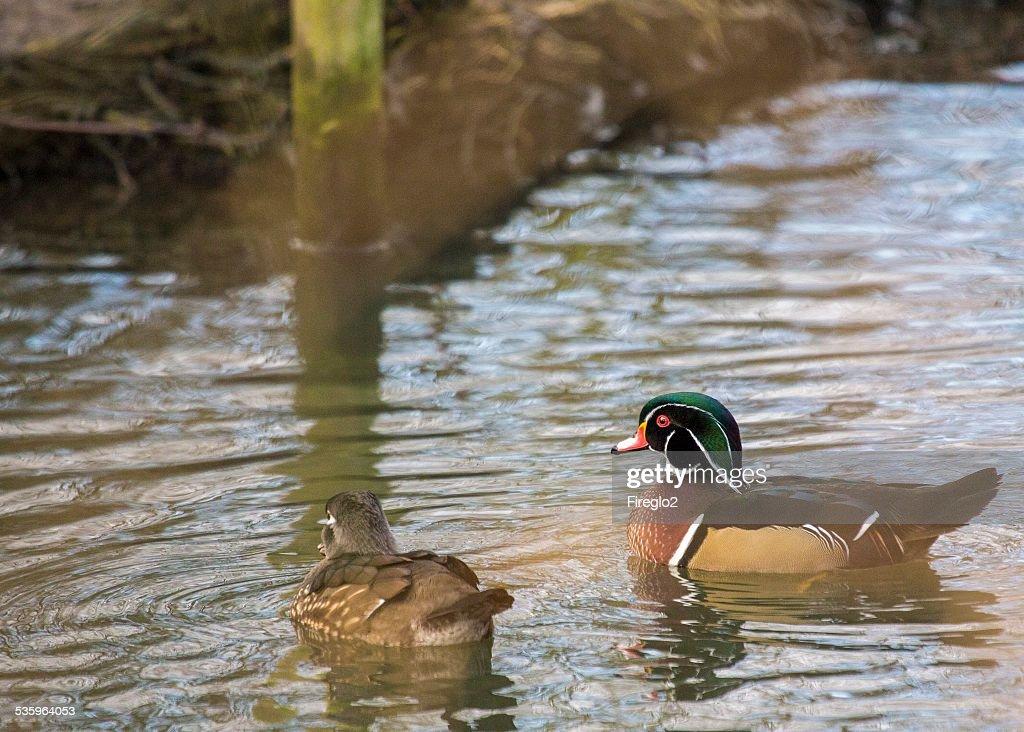 Wood Duck (Aix sponsa) : Stock Photo