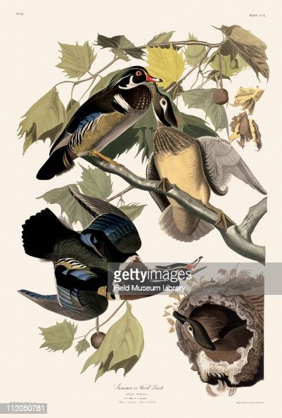 Wood Duck Plate 206 in John James Audubon's Birds of America late 1830s
