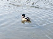 Single waterfowl in the pond