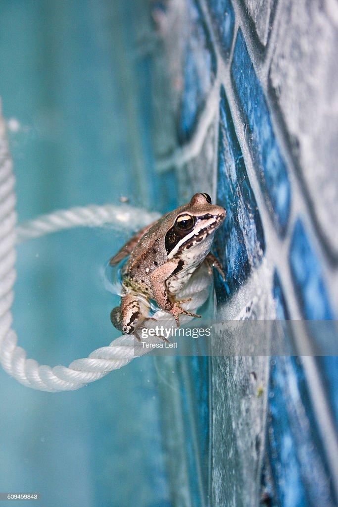 Wood frog in swimming pool
