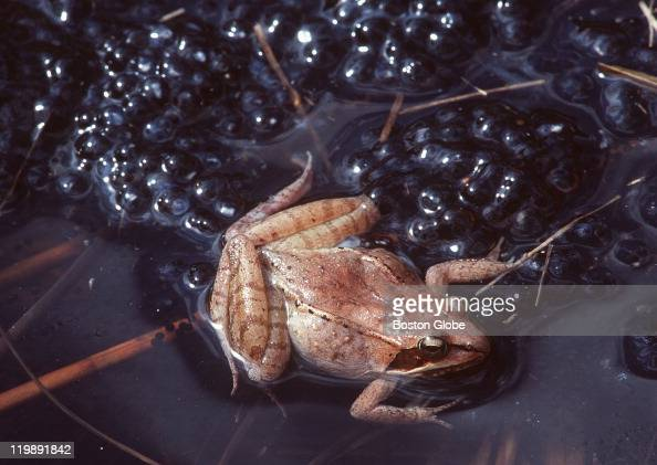 A wood frog is perched atop masses of jelly covered wood frog eggs laid in a vernal pool Seasonally wet pools in the woods host a variety of...
