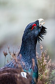 A Wood Grouse Cock came close for a portrait during his courting game, with a nice bokeh