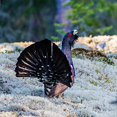 The western capercaillie (Tetrao urogallus), also known as the wood grouse, heather cock or capercaillie. Shows his beautifully spread tail.