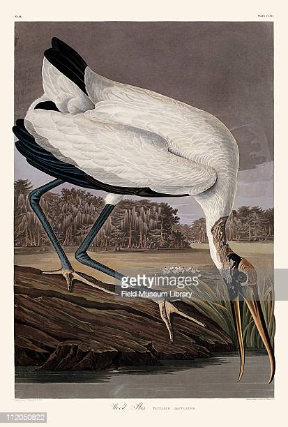 Wood Ibis Plate 216 in John James Audubon's Birds of America late 1830s