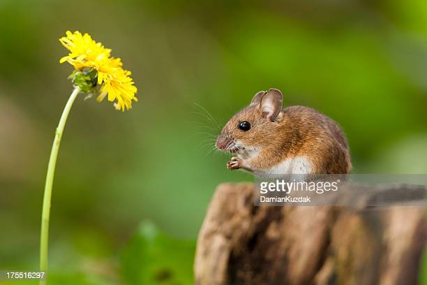 wood mouse in habitat