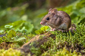 Wild Wood mouse resting on a log on the forest floor with lush green vegetation
