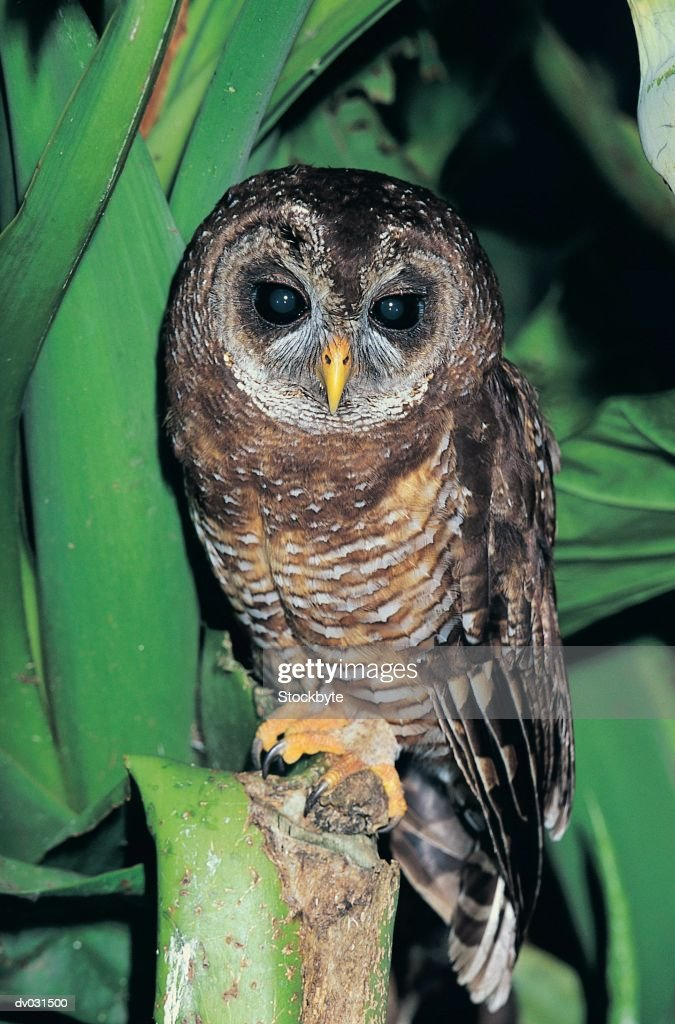 Wood Owl (Strix woodfordii) : Stock Photo