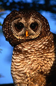 Wood Owl,South Africa,Africa