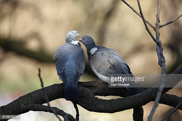 Wood Pigeons preen each other in St James's Park on March 14 2016 in London England Great Britain is to enjoy several days of mild seasonal weather...