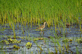 Wood sandpiper is a small wader, it is the smallest of the shanks - which are mid-sized long-legged waders of the Scolopacidae family. They breed in subartic wetlands from the Scottish highlands to eu